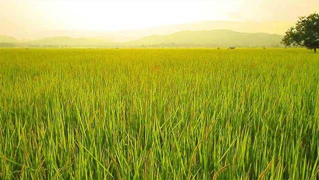 برنج-فجر-1