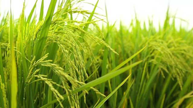 برنج-دودی-1