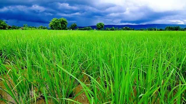 برنج-کشت-دوم-1