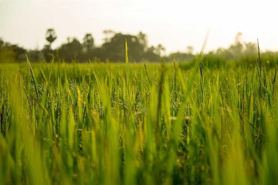 برنج-بهنام-۱