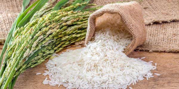 برنج-شیرودی-3