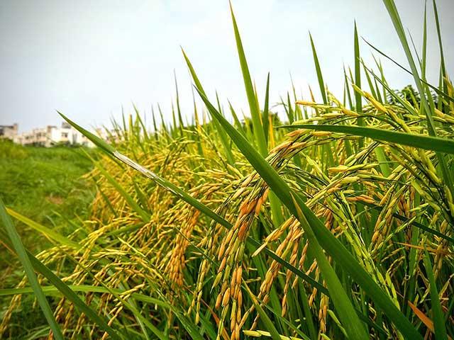 خرید-عمده-برنج-1