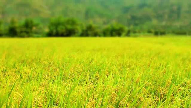 برنج-عطری-1