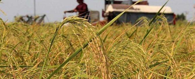 خودکفایی-در-تولید-برنج
