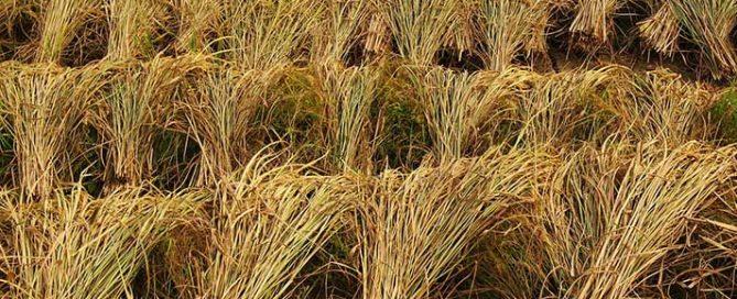 برنج ایرانی یا برنج خارجی