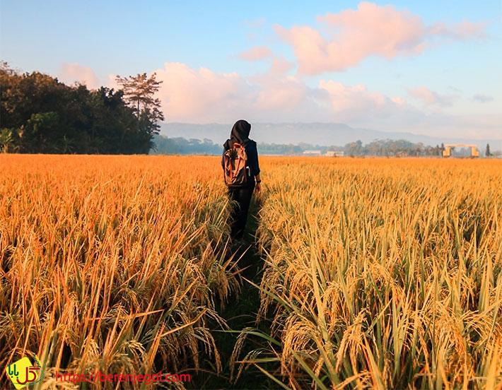 برنج-راتون-2