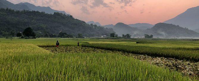 برنج-راتون