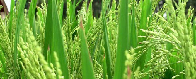 برنج-فرآوری-شده