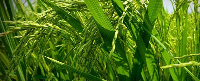معرفی-انواع-برنج-ایرانی