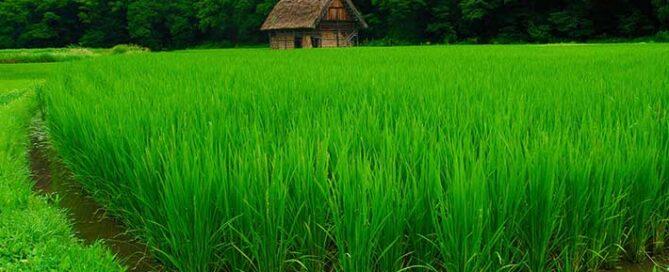 نکات-خرید-برنج