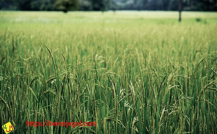 انواع-برنج-نیم-دانه