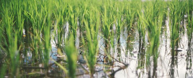 برنج-شمال