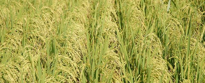 برنج-محبوب-ایرانی