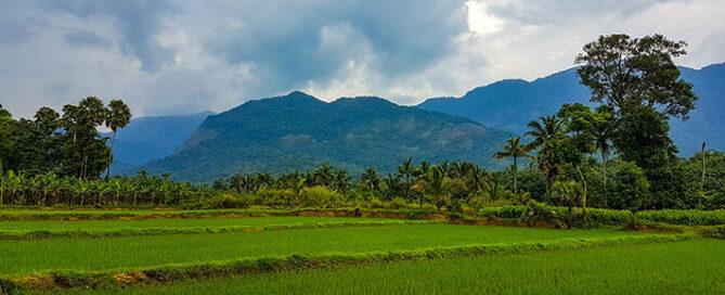 خرید-مستقیم-برنج-از-شمال
