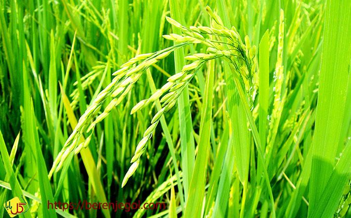 ویژگی-برنج-بینام