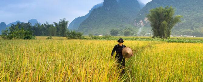 ویژگی-برنج-فجر