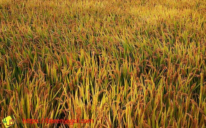 ویژگی-برنج-ندا