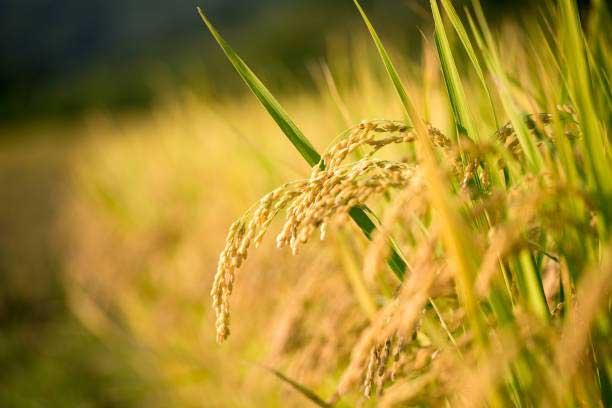 اصلاح-ژنتیکی-برنج-2