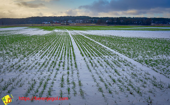 اصلاح-ژنتیکی-برنج