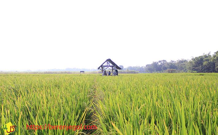 کالری-برنج