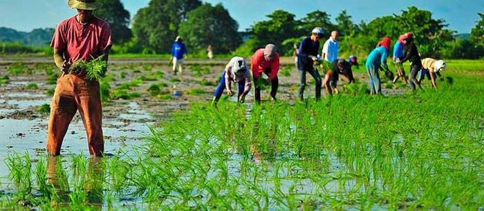 برنج-ایرانی-تازه-و-کهنه-11
