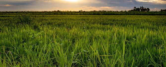 عوامل-تعیین-کننده-قیمت-برنج-ایرانی