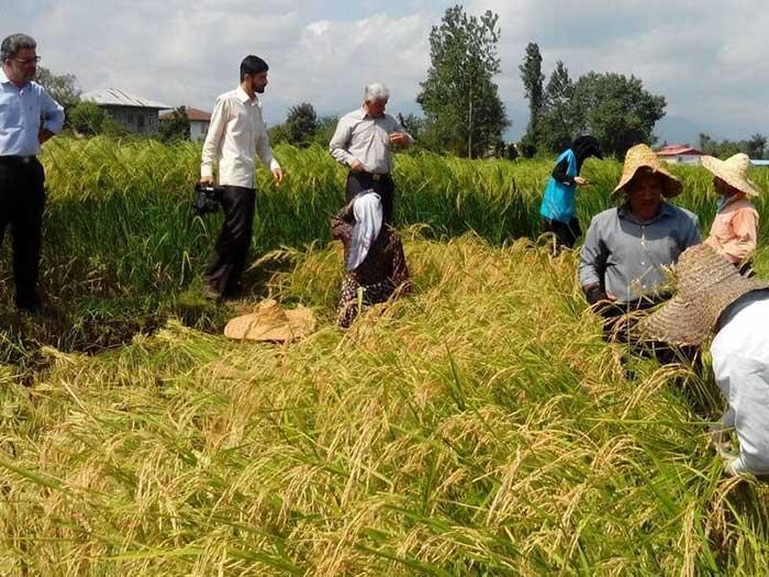 عوامل-تعیین-کننده-قیمت-برنج