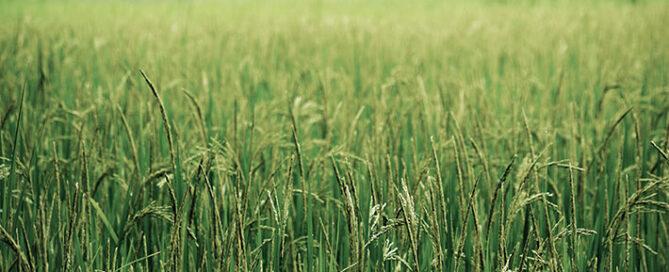 میزان-فروش-برنج-شمال