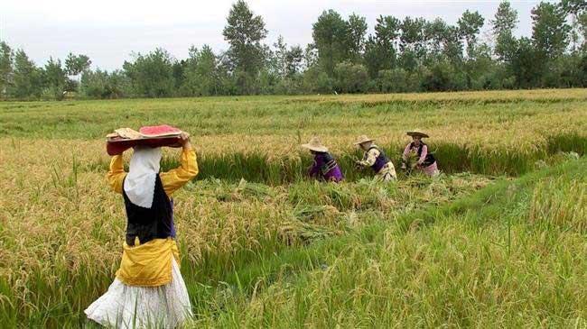 وضعیت-فروش-برنج-در-ایران