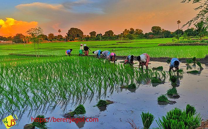 اطلاعاتی-درباره-برنج-کشت-دوم