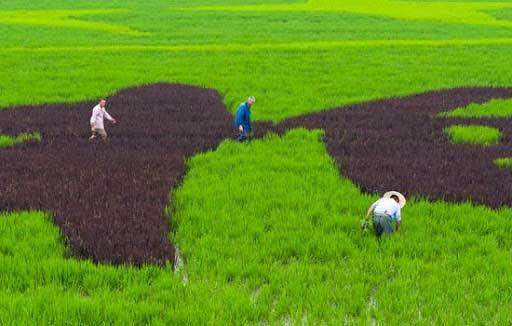 برنج-رنگی-در-ایران-11