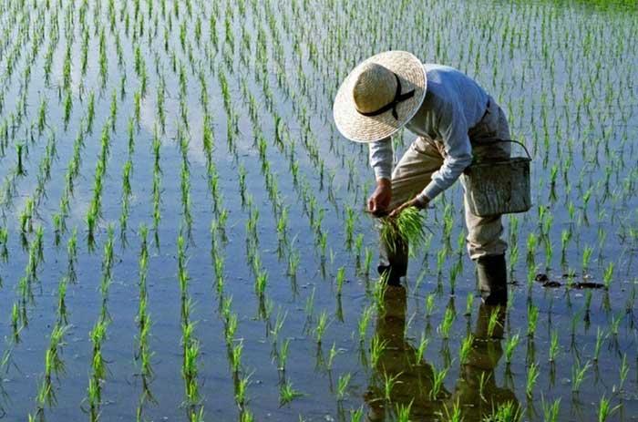 فروش-انواع-برنج-طارمی-با-کیفیت-و-قیمت-عالی-در-فروشگاه-برنج-گل-بابا
