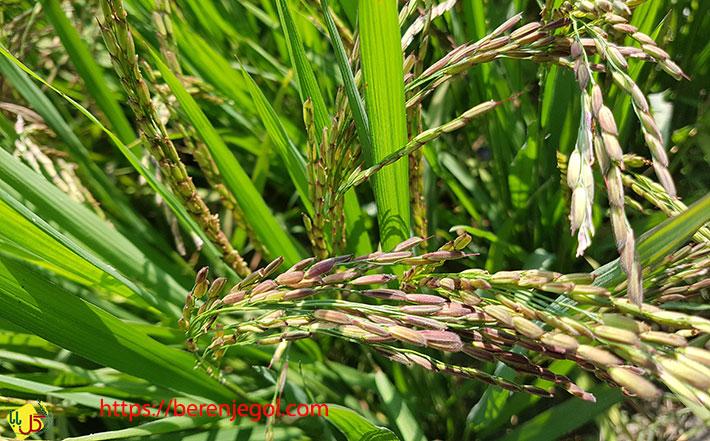 معرفی-برنج-رنگی
