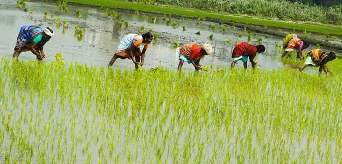 معرفی-برنج-کشت-دوم