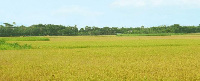 معرفی-کامل-برنج-فجر