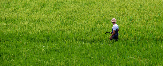 معرفی-کامل-برنج-فریدونکنار