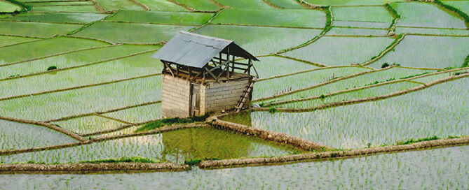 نحوه-خرید-مستقیم-برنج-شمال