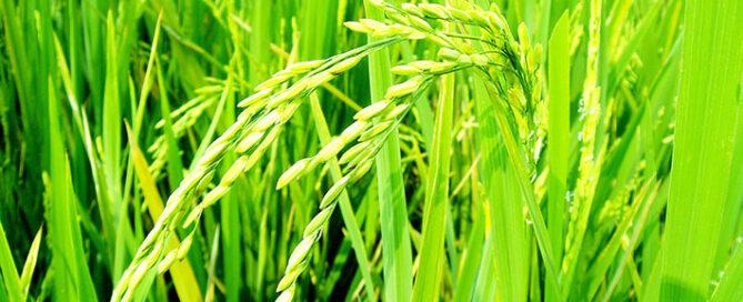 اطلاعاتی-درباره-برنج-نیم-دانه