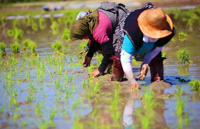 بررسی-قیمت-برنج-شیرودی