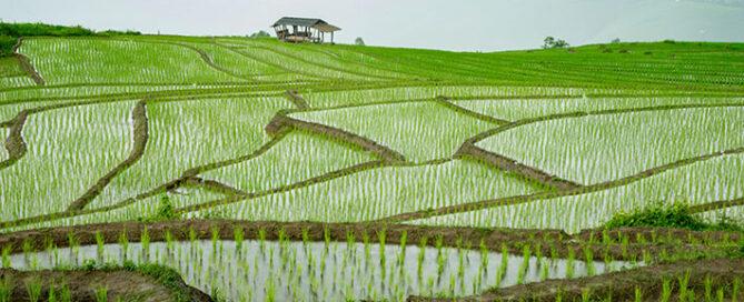 بررسی-ویژگیهای-برنج-کشت-دوم