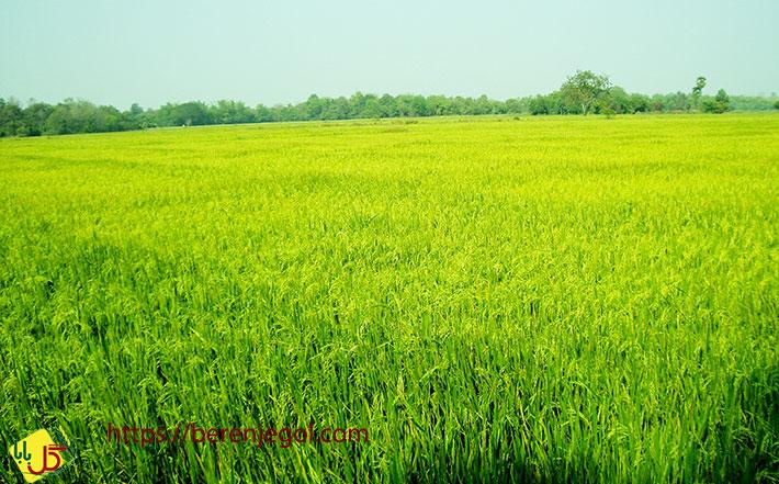 تاثیر-برنج-بر-سلامتی