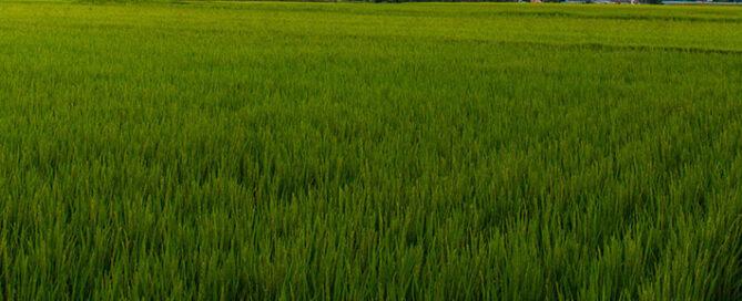 شناخت-بهتر-برنج-دم-سیاه