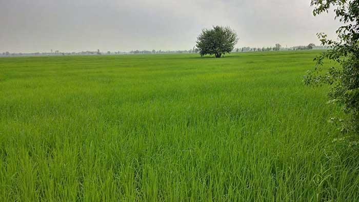 فروش-برنج-دم-سیاه-14