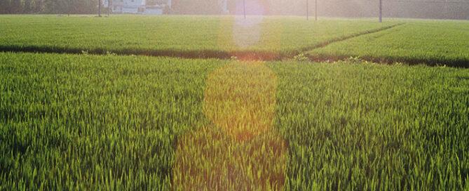 معرفی-کامل-برنج-شیرودی