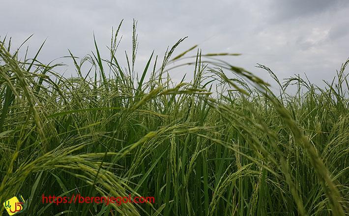 معرفی-کامل-برنج-ندا