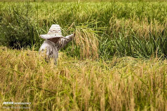 نکات-مهم-در-رابطه-با-خرید-برنج-شیرودی