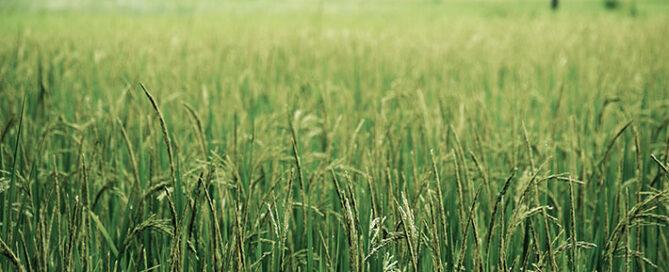 همه-چیز-درباره-برنج-عطری