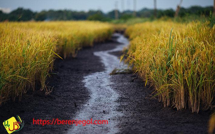 عوامل-تعیین-کننده-کیفیت-برنج