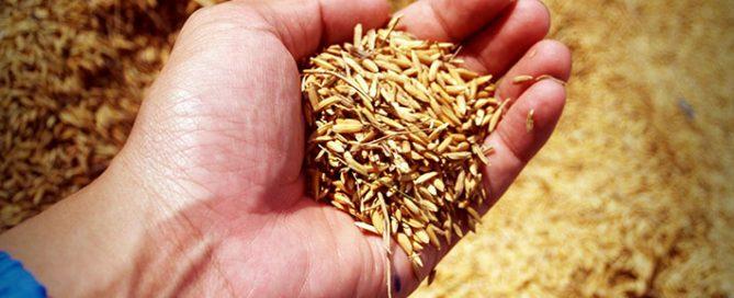 محبوبیت-انواع-برنج-ایرانی